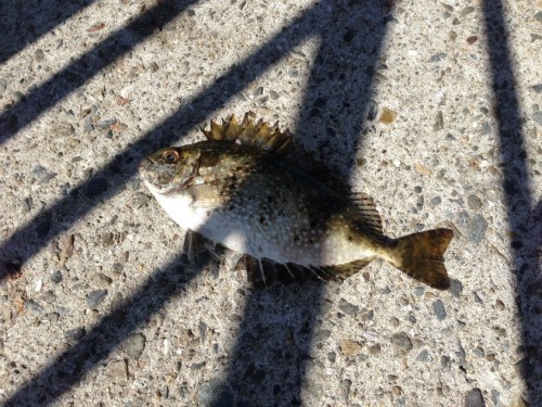 背びれが痛そうな魚