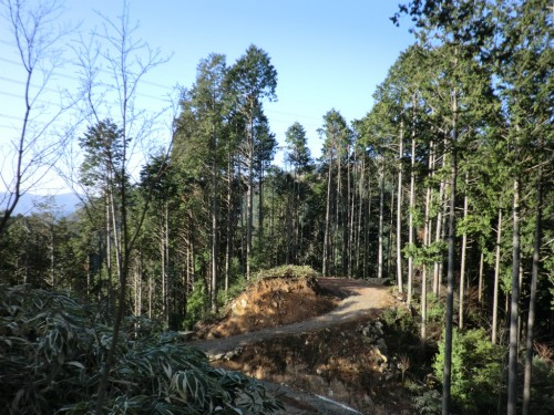 初木もれ陽の森_杉