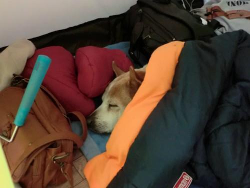 初めてのこもれび_人間みたいに寝るレナ