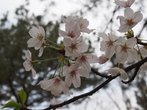 大泉緑地ヨシダBBQ_桜