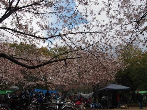 2014長居公園花見_まばらな桜