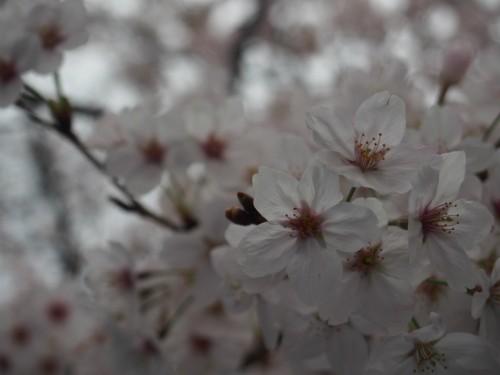 2016長居公園花見_桜