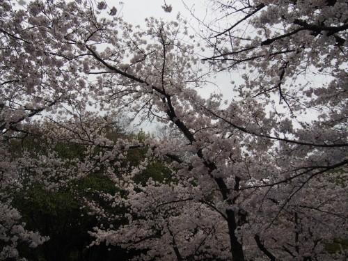 2016長居公園花見_頭上の桜